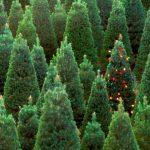 Si compras árbol de Navidad busca uno de producción local controlada