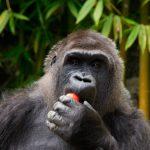 Tristeza en Zacango, murió la emblemática gorila Arila