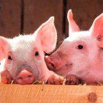 Crean cerdos sin virus para generar órganos para trasplantes en humanos