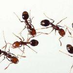 Hormiga mutante, la ficción supera a la realidad…