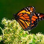 Bienvenidas monarcas a casa