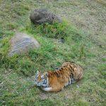 Dos tigres tiene el Gran Relax Business Center Spa & Resort