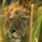 Parque Ecológico de Zacango presume su colección de grandes felinos